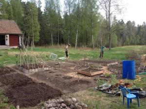 Beredning av odlingsbäddar och utplantering av plantor!