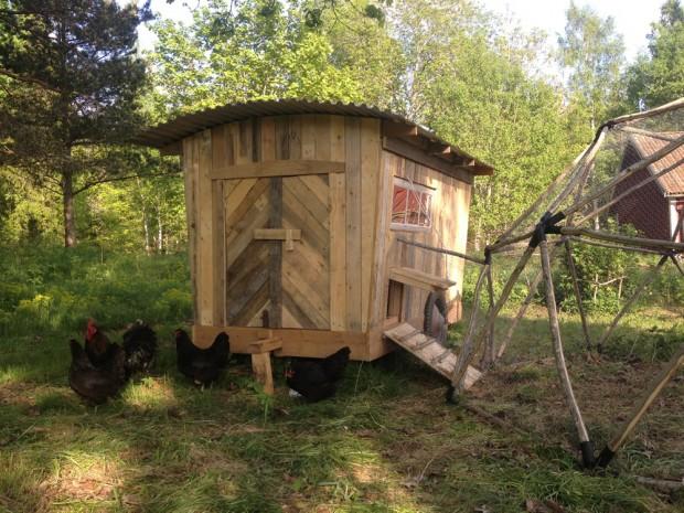 Hedemoran verkar trivas i sitt nya hem, i dagsläget bor där 3 höns, en tupp och två kycklingar!