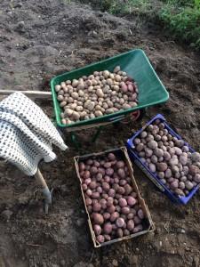 Årets skörd av Lurö-potatis och King Edward